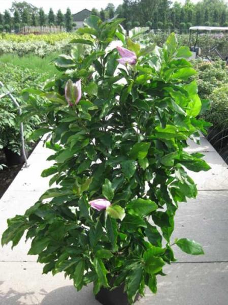 Magnolia liliiflora 'Susan' / Rote Tulpenmagnolie