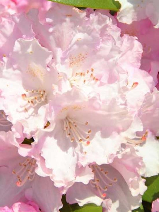 rhododendron yakushimanum 39 silberwolke 39 rhododendron 39 silberwolke 39 g nstig kaufen baumschule. Black Bedroom Furniture Sets. Home Design Ideas