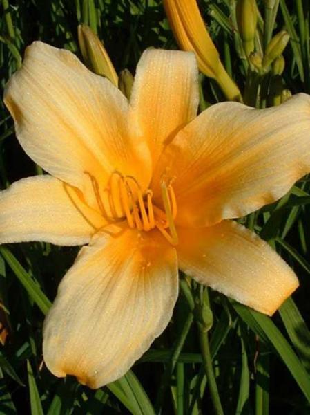 Hemerocallis cultorum 'Morgenstern' / Taglilie