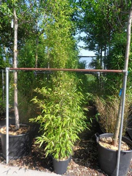 Phyllostachys nigra / schwarzer Bambus 175-200 cm im 12-Liter Container