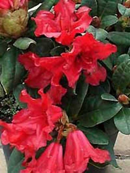 Rhododendron repens 'INKARHO Scarlet Wonder' / Rhododendron 'INKARHO Scarlet Wonder'