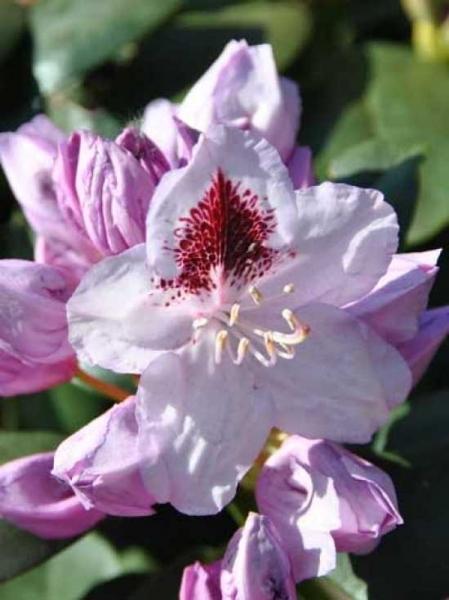 Rhododendron Hybride 'INKARHO Humboldt' / Rhododendron 'INKARHO Humboldt'