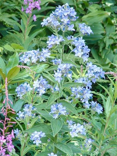 Campanula lactiflora / Dolden-Glockenblume
