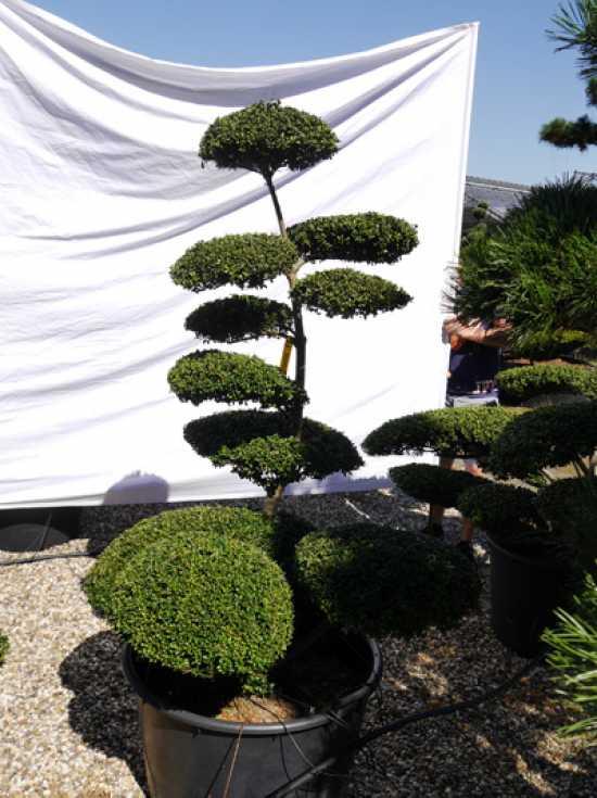 ilex crenata 39 convexa 39 h 170 cm b 120 cm garten bonsai 401322 g nstig bestellen. Black Bedroom Furniture Sets. Home Design Ideas