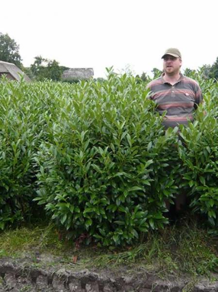 Häufig Prunus laurocerasus 'Herbergii' / Kirschlorbeer 'Herbergii' 125 AT08