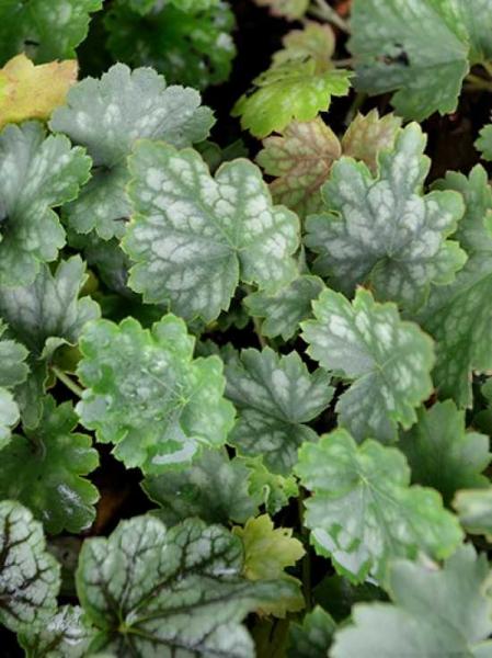 Heuchera sanguinea 'White Cloud' / Garten-Purpurglöckchen 'White Cloud'