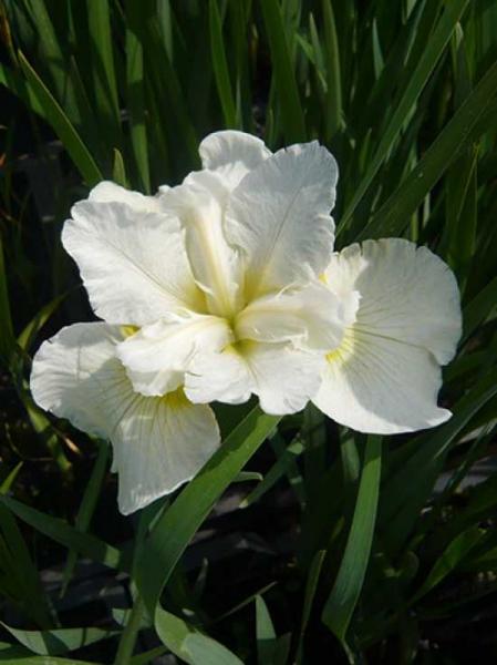 Iris sibirica 'Snow Queen' / Sibirische Schwertlilie