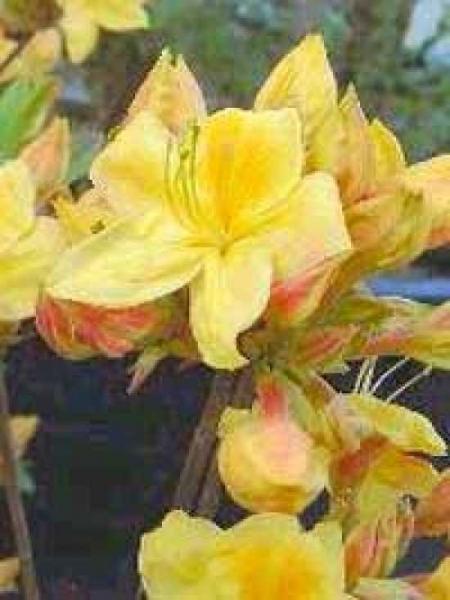 Azalea mollis / Sommergrüne Azalee