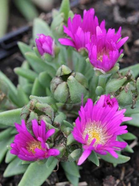 Delosperma sutherlandii / Transvaal-Mittagsblume