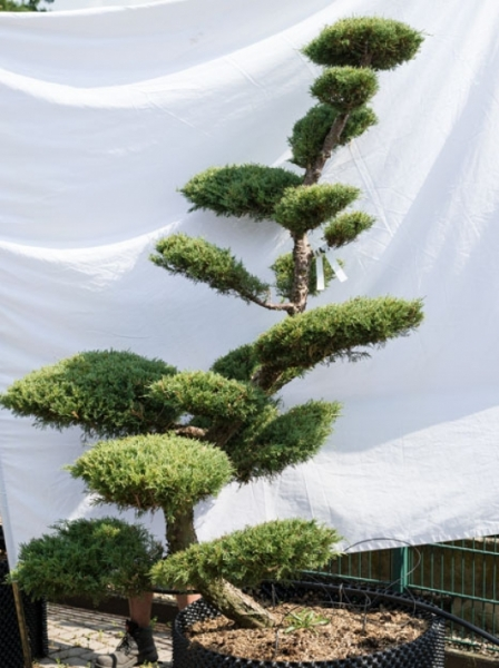 Juniperus media 'Hetzii' H: 210 cm B: 150 cm / Garten-Bonsai (632)