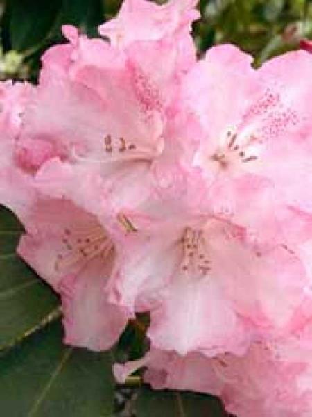 Rhododendron Hybride 'Solidarity' / Rhododendron 'Solidarity'