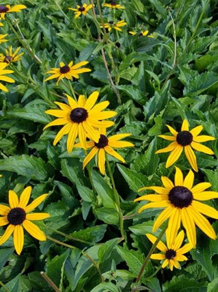 Rudbeckia fulgida 'City Garden' / Prächtiger Sonnenhut 'City Garden'