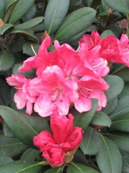 Rhododendron yakushimanum 'Lampion' / Rhododendron 'Lampion'