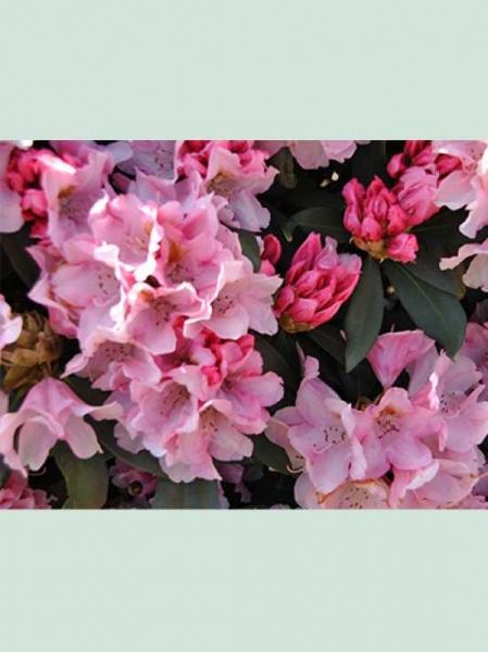 Rhododendron yakushimanum 'Bashful' / Rhododendron 'Bashful'