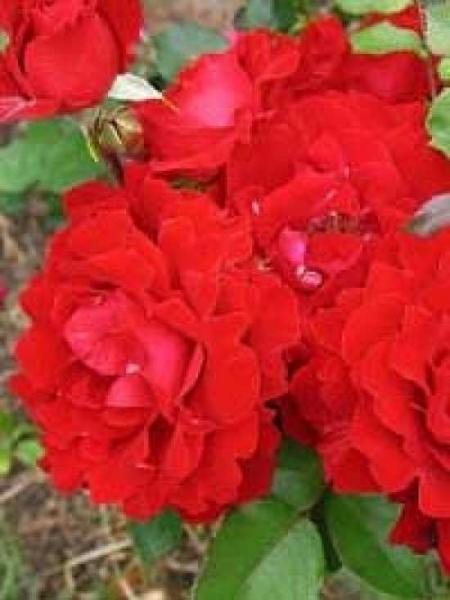 Rosa 'Happy Wanderer ®' / Beetrose 'Happy Wanderer'