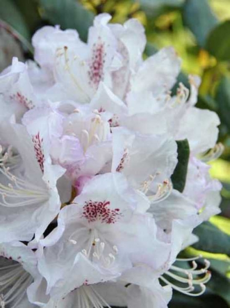 Rhododendron Hybride 'INKARHO Bismarck' / Rhododendron 'INKARHO Bismarck'