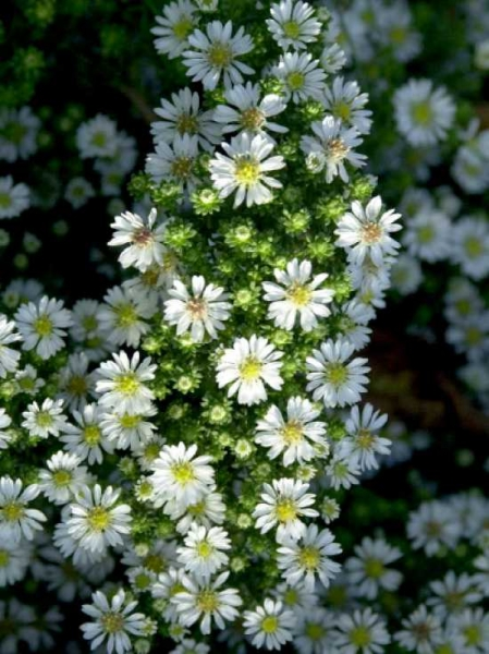 Aster pansus 'Snowflurry' / Teppich-Aster 'Snowflurry'