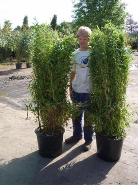 Fargesia murielae 'Jumbo' / Gartenbambus 'Jumbo' 150-175 cm im 20-Liter Container