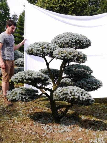 Picea pungens 'Glauca' H: 170 B: 180 cm / Garten-Bonsai (0017)