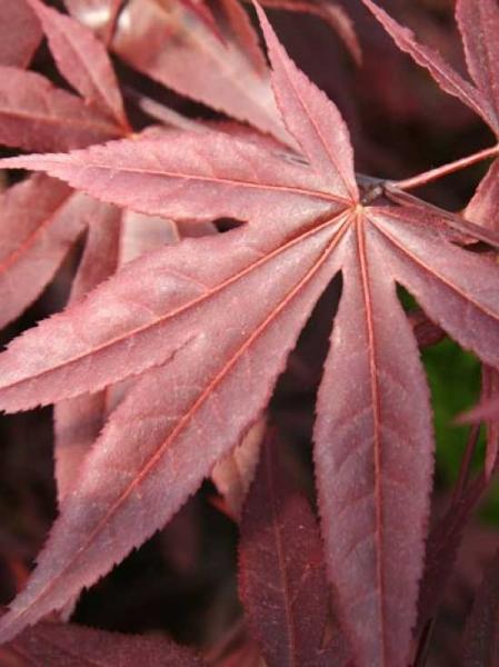 Acer palmatum 'Red Emperor' / Roter Fächer-Ahorn 'Red Emperor'