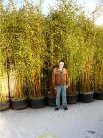 Phyllostachys aureosulcata 'Spectabilis' / Flachrohr-Bambus 350-400 cm im 100-Liter Container