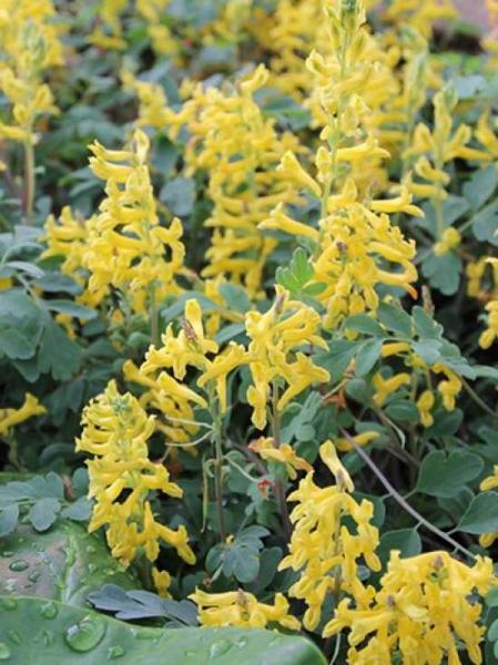 Corydalis 'Canary Feathers' / Gebogener Garten-Lerchensporn
