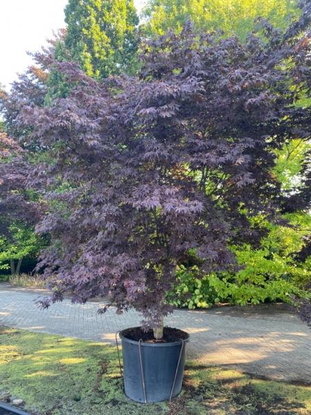 Acer palmatum 'Bloodgood' / Fächer-Ahorn / Japanischer Ahorn 250-300cm breit x 375-400cm hoch Solitär