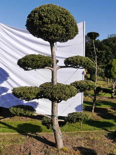 Abies koreana H: 250 B: 150 cm / Garten-Bonsai (0222)