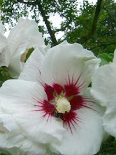 Hibiscus syriacus 'Monstrosus' / Garten-Eibisch 'Monstrosus'