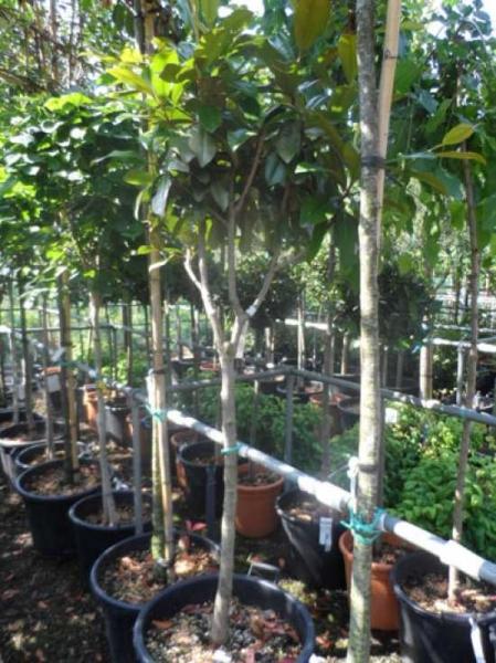 Magnolia grandiflora 'Goliath' / Großblütige Magnolie 'Goliath'