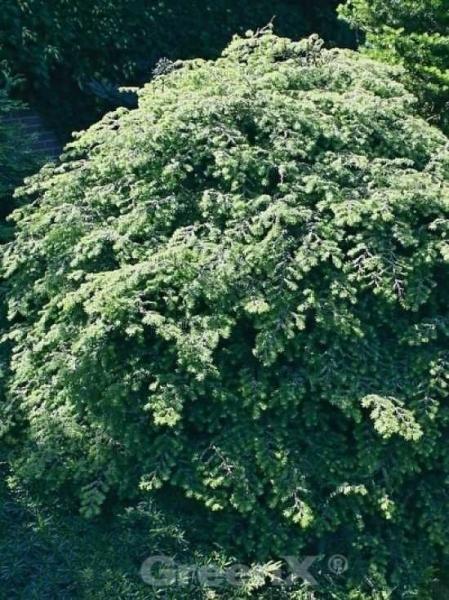 Tsuga canadensis 'Gentsch White' / Hemlocktanne 'Gentsch White'