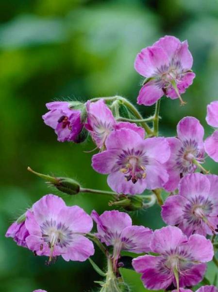 Geranium phaeum 'Lily Lovell' / Brauner Storchschnabel