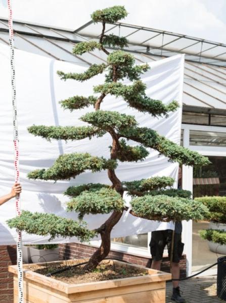 Juniperus squamata 'Blue Carpet' H: 300 B: 220 cm / Garten-Bonsai (620)