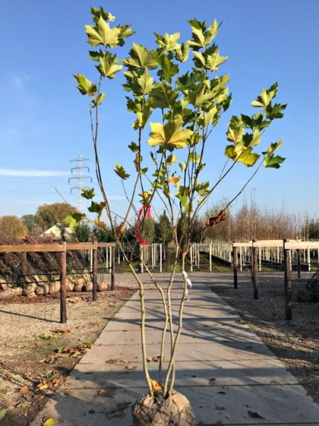 Platanus acerifolia mehrstämmig / Platanus acerifolia