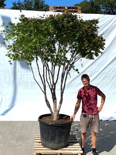 Acer palmatum 'Reticulatum' / Japanischer Fächerahorn 'Reticulatum' 250-300 cm (1216)