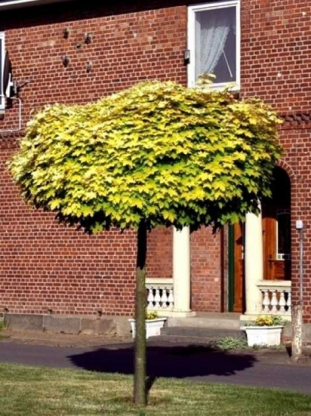 Acer platanoides 'Golden Globe' / Gold-Kugelahorn