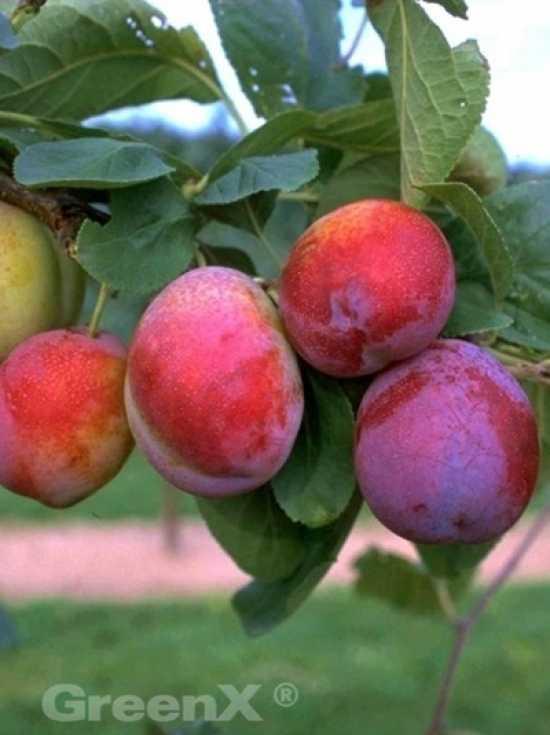 Prunus domestica Königin Victoria / Pflaume Königin