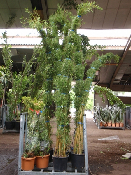 Phyllostachys aureosulcata / grüner Bambus 250-300 cm im 35-Liter Container