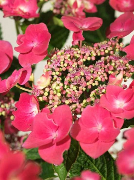 Hydrangea macrophylla 'Buchfink' / Teller-Hortensie 'Buchfink'