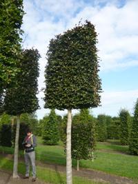 Hochstammspalier 220-250 cm