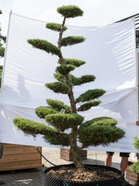 Juniperus media 'Hetzii' H: 260 cm B: 170 cm / Garten-Bonsai (621)
