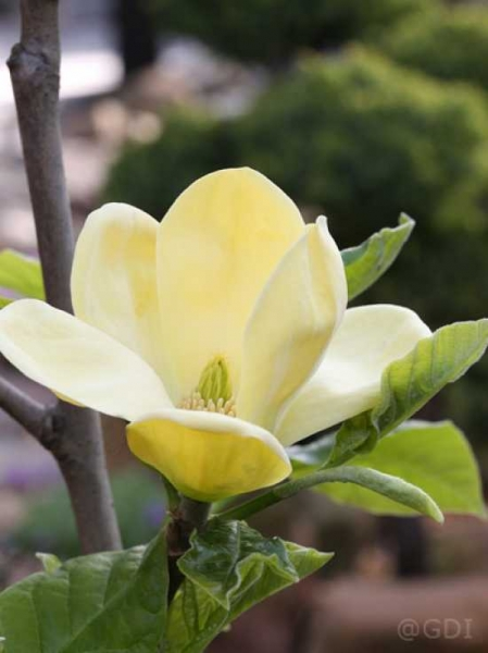 Magnolia brooklynensis 'Yellow Bird' / Magnolie 'Yellow Bird'