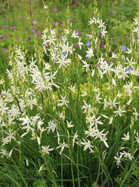 Anthericum liliago / Astlose Graslilie