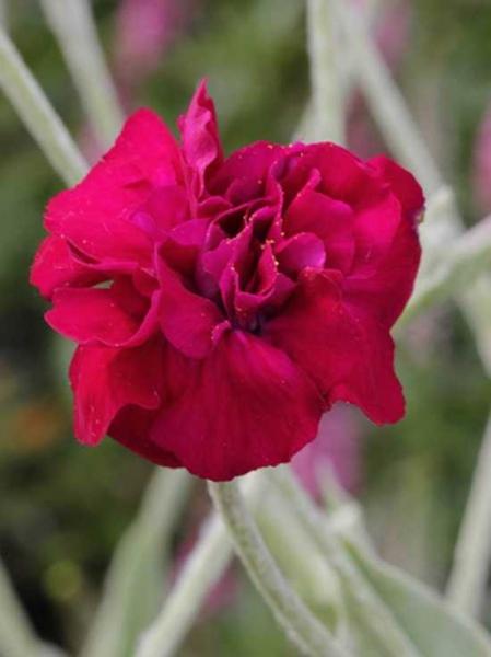 Lychnis coronaria 'Gardener's World' / Kronen-Lichtnelke'Gardener's World' / Vixier-Nelke 'Gardener's World'