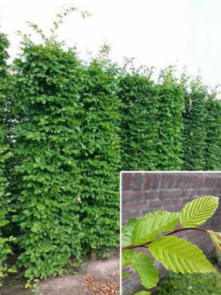 Carpinus betulus / Hainbuche / Fertighecke / Heckenelement 260 cm