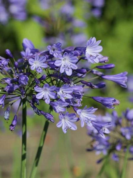 Agapanthus africanus 'Blue Triumphator' / Garten-Schmuck-Lilie 'Blue Triumphator'
