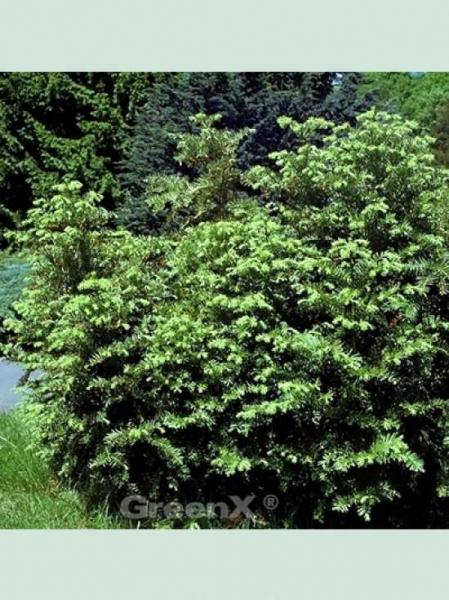 Cephalotaxus harringtonia / Japanische Kopfeibe / Japanische Pflaumeneibe
