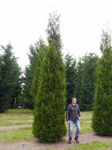 Thuja plicata 'Excelsa' / Lebensbaum 'Excelsa' 450-500 cm Solitär mit Drahtballierung