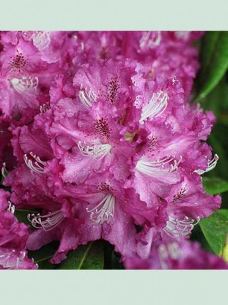 Rhododendron Hybride 'Edwin II' / Rhododendron 'Edwin II'