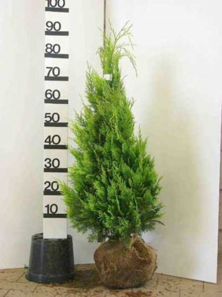 Chamaecyparis lawsoniana 'Ivonne' / gelbe Scheinzypresse 60-80 cm Solitär mit Ballierung